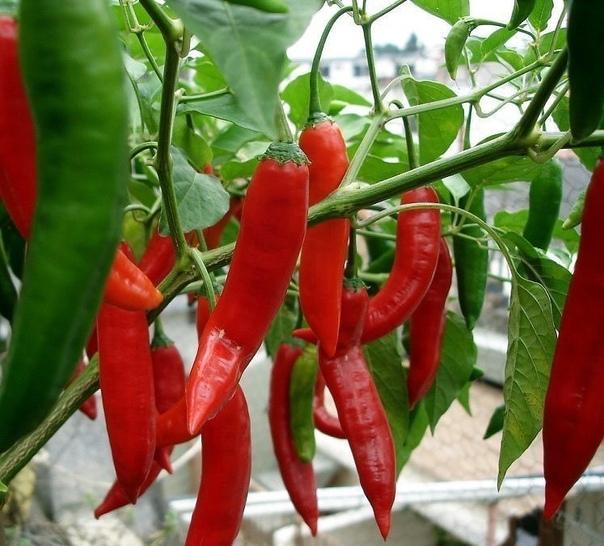 ПЕРЕЦ ДЕКОРАТИВНЫЙ Декоративный перец относительно неприхотлив.Оптимальная температура для него 20-22 градуса,важна влажность,поэтому растение нужно опрыскивать,и ему необходимо много светаЛучше