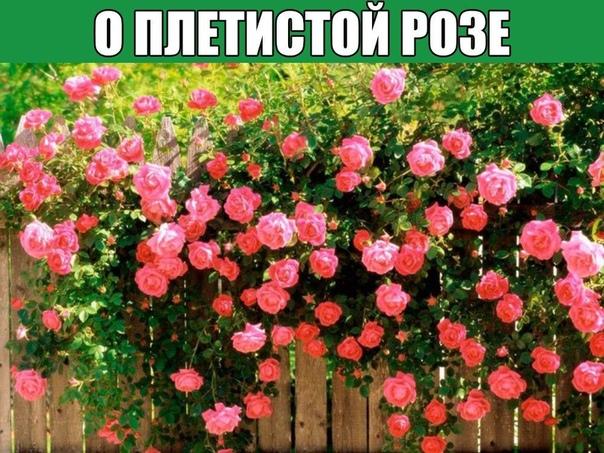 О ПЛЕТИСТОЙ РОЗЕ Розы, несомненно являются аристократками наших садов. Благодаря селекции и разнообразию сортов и видов, они могут украшать клумбы, балконы, арки, фасады домов , и даже служить